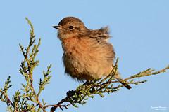 Shaking feathers - Sacudindo a plumagem (Yako36) Tags: ferrel peniche portugal ave bird birdwatching nature natureza nikond7000 nikon200500