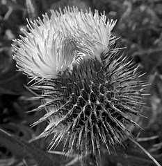 Thistle (Cornishcarolin. Stupid busy!! xx) Tags: cornwall thelizardpeninsula plants thistles nature spikes prickles mono blackwhite