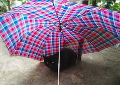 Funny black cat (MoyanSpirit) Tags: black cat funny colour colourful friday 13 eye umbrella blue red