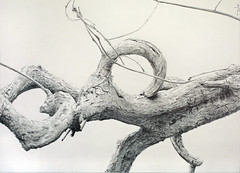 Pencil drawing: Curling Wood Vine (Dennis Candy) Tags: srilanka ceylon drawing pencil graphite realism curling wood vine nature beauty