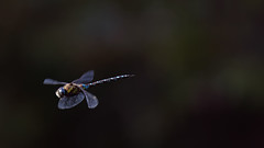 a Dragonfly in flight (1) : brake ! (Franck Zumella) Tags: dragonfly insect insecte small fly flying vol voler libellule nature