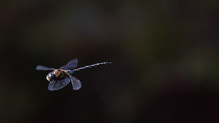 a Dragonfly in flight (1) : brake !