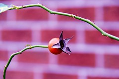 Confusing Fall for Spring? (Haytham M.) Tags: canada ontario autumn stroll walk wall brick thorn spike stem flower bud