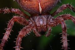 Arachtober 17 Part 1 (Procrustes2007) Tags: spider arachnid araneusdiadematus commongardenspider commoncrossspider macro nikond50 nikkor50mmais tamron2xteleconverter vivitarextensionrings68mmtotal greatcornard suffolk uk britain england gridreftl883407 arachtober