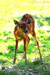 Just like Animals (Francesca Cavallo Photography) Tags: animal animals animalkingdom nature natura animali wild regnoanimale animaladdiction mammifero mammiferi parcodellecornelle