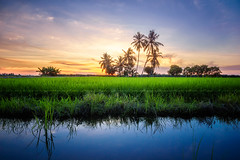 View of sunset at paddy field_DSC7233_1ar (Rizal Zawawi) Tags: rice sunlight tree meadow agriculture green travel view yellow wheat scenery skyline orange light farm sun paradise asia seed weather relax panorama sunset outdoors tourism plants golden path harvest stunning economy perspective farmland field summer plantation farming agricultural malaysia growth coconut sky beautiful industry nature paddy palm asian road landscape ray background river reflection