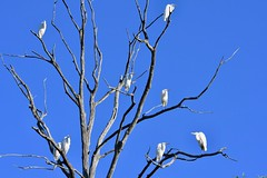 All Eight Egrets (Plummerhill) Tags: egret greategret blueskies october muscatatuck muscatatucknwr indiana explore 35 front page