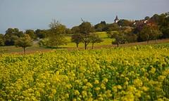 Herbstspaziergang bei Kieselbronn (Niwi1) Tags: field outdoor enzkreis kieselbronn felder raps herbst natur pflanze aussicht nikon niwi1 autumn rape walk view