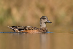 American Wigeon (female) (ayres_leigh) Tags: widgeon humber nature wildlife pond canon