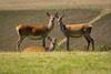 Red Deer Hinds (John Ambler) Tags: three red deer hinds posing together for camera john ambler johnambler wildlife photographer photographs isle wight