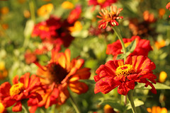 Red Zinnia (gripspix (Off 4 Recovery)) Tags: 20171016 autumn herbst impressions impressionen eindrücke zinnien zinnia red rot late spät