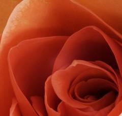 Orange Rose, using my Macro tubes. 😁📷😁 (LeanneHall3 :-)) Tags: orange rose rosepetal petals petal flower flowerflowerflower flowersarefabulous flowersarebeautiful closeupphotography closeup macrotubes macro canon 1300d