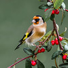Goldfinch (Dec Roche) Tags: gardenbirds goldfinch berries cotoneaster nature wildlife nikon nikon300mmf4 nikond7000 wexford repofireland