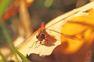 Sympétrum tardif / Autumn Meadowhawk