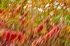 FallICM 80 (Shani Mootoo) Tags: sumac fall shrubbery roadside