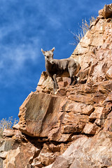 Bighorn Sheep lamb shows its climbing prowess