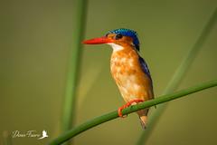 Martin pêcheur huppé - Corythornis cristatus - Malachite Kingfisher (denisfaure973) Tags: mps baringo martinpecheur
