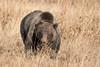 Momma Bear (Amy Hudechek Photography) Tags: grizzly bear momma big nature wildlife amyhudechek gtnp grand teton national park 399