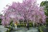Pictures under the Sakura (DanÅke Carlsson) Tags: japan japanese kyoto sakura cherry blossom tree pink garden spring