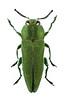 Anthaxia hungarica (Buprestidae) (Scrubmuncher) Tags: anthaxiahungarica buprestidae jewelbeetle beetle insect macro nature focusstack