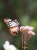アサギマダラ (Polotaro) Tags: mzuikodigital45mmf18 butterfly insect bug nature olympus epm2 pen zuiko チョウ 蝶 虫 昆虫 自然 オリンパス ペン ズイコー アサギマダラ 10月 庭 garden