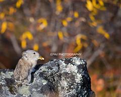 A pika with a leaf (WhiteEye2) Tags: pika collaredpika wildlife nature alaska denalinationalpark autumn cute adorable