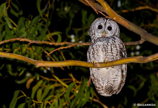Coruja-do-mato | Tawny Owl | Cárabo común | Chouette hulotte (Strix aluco)