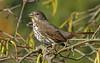 Singing In The Sunshine (ebirdman) Tags: foxsparrow fox sparrow passerellailiaca passerella iliaca