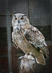IMG_0627 (bob_rmg) Tags: perrow arboretum tree autumn colour leaves bedale thorp eagle owl bird