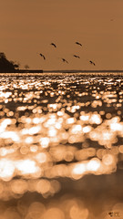 ''Contre-jour!'' Oie des neiges-Snow goose (pascaleforest) Tags: oiseau animal art artistique bokeh passion nature nikon canada wild wildlife faune québec eau water fleuve ciel sky bird
