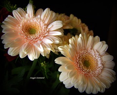 Twins (gypsie2 ~ On/Off) Tags: s100fs nature macro flower gerbera cream ngc coth coth5 naturethroughthelens npc