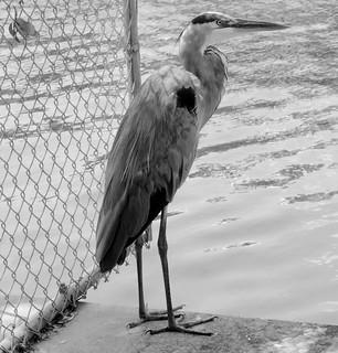 Heron At The Waterfront
