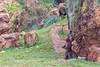 Brown bear  240317-7191 (Eduardo Estéllez) Tags: brown bear ursus arctos nature natural animal park wild wildlife mammal dangerous predator zoology cabarceno background horizontal ecology spain hunter species ecosystem carnivorous iberian omnivore cantabria green portrait white forest big huge european adult rose climbing naturalpark color estellez eduardoestellez