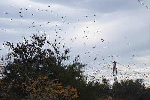 Flying foxes take flight