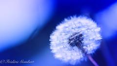 different worlds (frederic.gombert) Tags: flower light color colors blue white dandelion autumn garden plant macro nikon
