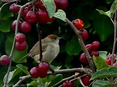 Fauvette à tête noire ♀ (zogt2000 (No Video)) Tags: fauvetteàtêtenoire oiseau bird jardin garden