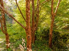 Acer griseum - Arboretum de la Sédelle - Crozant - Creuse - Nouvelle-Aquitaine - France (vanaspati1) Tags: acer griseum arboretum de la sédelle crozant creuse nouvelleaquitaine france vanaspati1 écorce nature tronc arbres trees