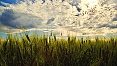 Tarweveld Onder een Bewolkte Hemel. (Chen Khran Mboto) Tags: pecorellanerainpiedi antoniorecupero oristano sardinia italy grano nuvole tarweveldondereenbewolktehemel