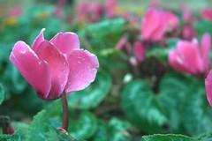 Bellezas de otoño (Ampitaaa) Tags: flor flower flores flowers rosa 400d mallorca majorca españa spain nature natura naturaleza natural verde pink green jardín garden