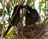 Currawong chick feeding (rinse cycler) Tags: currawongchick australianbird nestling bird babybird