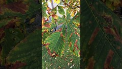 Horse Chestnut (Aesculus hippocastanum) - leaves close up - October 2017 (terrencepickles) Tags: horse chestnut aesculus hippocastanum leaves close up october 2017