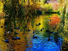 Duck pond: Autumn colours and reflections (+3) (peggyhr) Tags: peggyhr duckpond queenelizabethpark autumn reflections colourful ripples ducks willows bushes dsc09850b vancouver bc canada blue green gold red orange series carolinasfarmfriends thegalaxy level1pfr rainbowofnaturelevel1red thegalaxystars niceasitgets~level1 infinitexposurel1 autofocuslevel1