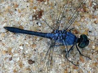 Munjanwoojokiikian Blue. Oligoclada laetitia, Happy Blue Dragonfly, Munjanwoojokiiki, Upper Suriname River, Suriname