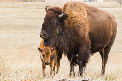 Bison calf hanging out with mom