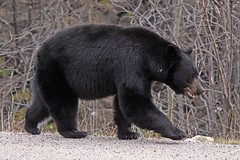 Going for a Stroll (Martin Third) Tags: canada alberta bear blackbear jaspernationalpark wildlife medicinelake malignelakeroad
