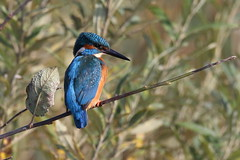 Common Kingfisher (Alcedo atthis) (sdflickr2) Tags: northwestleicestershire commonkingfisher alcedoatthis october 2017