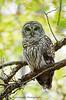 Barred Owl (kconnelly03) Tags: barredowl nj newjersey