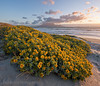 Blaauwberg Dune Flower Sunset (Panorama Paul) Tags: paulbruinsphotography wwwpaulbruinscoza southafrica westerncape capetown tablemountain blaauwbergbeach yellowflowers sunset mountain beach waves nikond800 nikkorlenses nikfilters vertorama