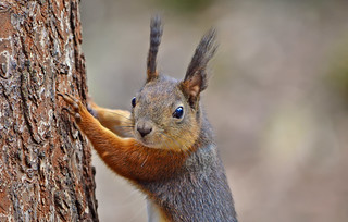 - Are you looking for me? I climb tree! #Finland #Squirrel