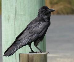 Corvus orru 5 (barryaceae) Tags: smiths lake bowling club macwood road smithslake nsw australia ausbird ausbirds torresian crow corvus orru